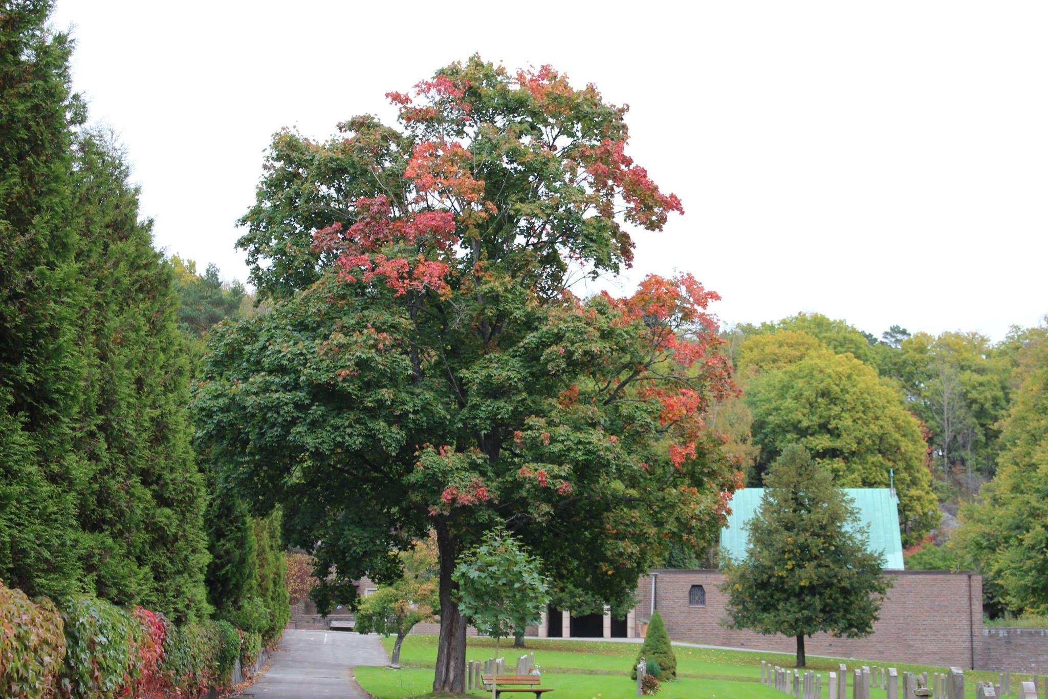 Ett höstträd med några röda blad. I bakgrunden syns St:Olofs Kapell - Kviberg