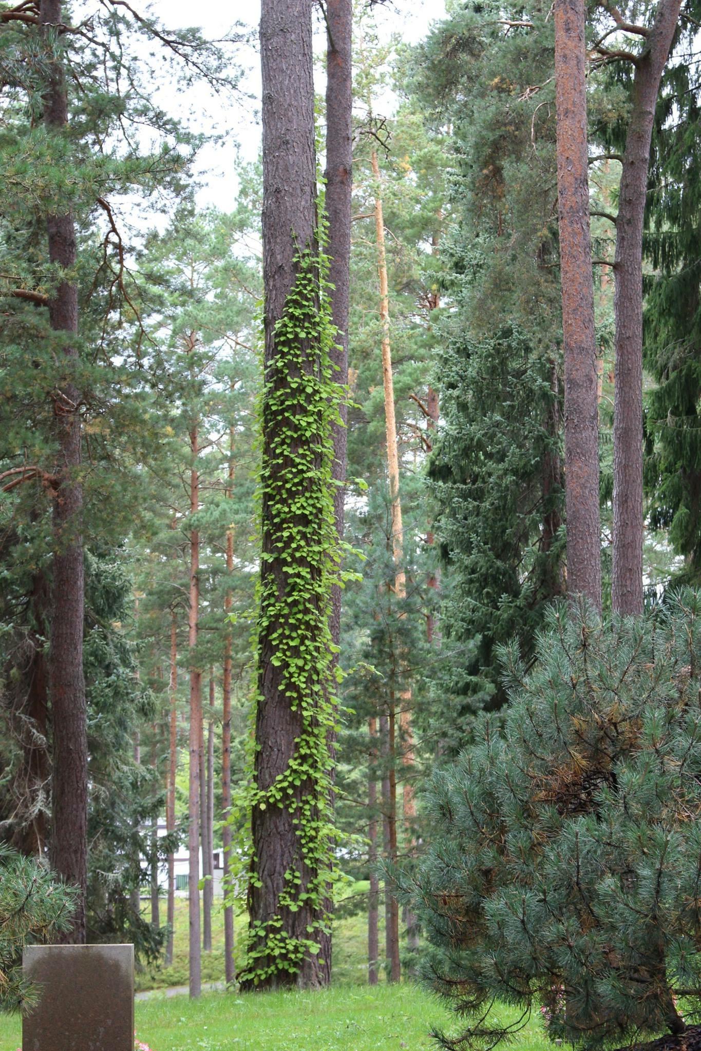 Träd med klätterväxter