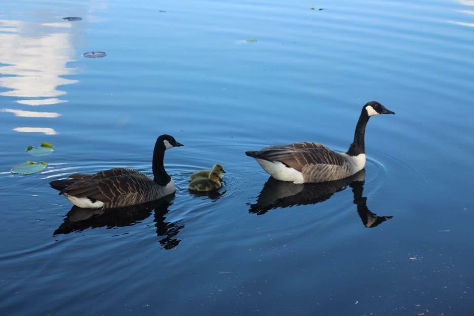 Gås familj på simtur