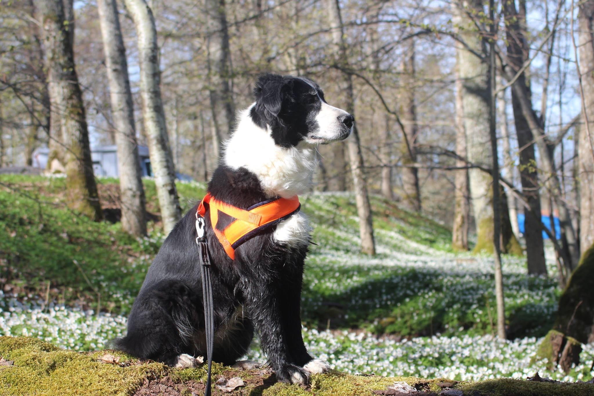 svartvit hund i vitsippeskog